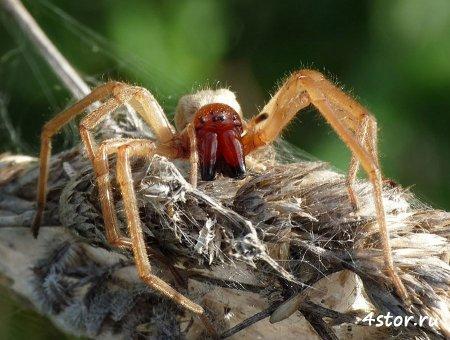 Самые ядовитые и опасные пауки в мире