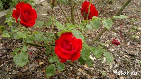 Призрак розы
