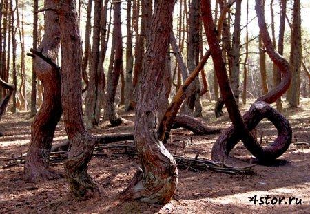 Танцующий лес или куршская коса