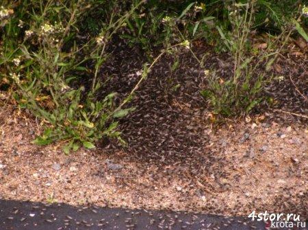 Тучи комаров над Нарочью