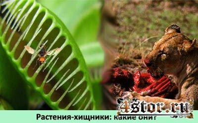 Растения-хищники - монстры растительного мира