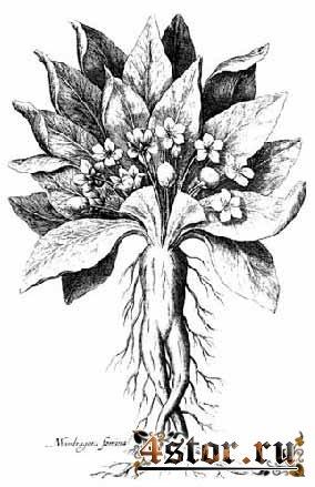 Ведьмино растение - мандрагора